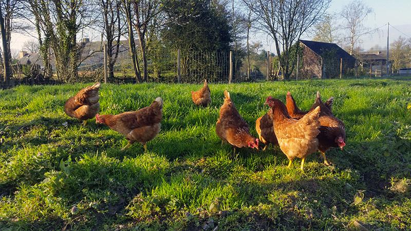 poules pondeuses en agriculture bio