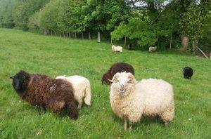 eco-paturage mouton landes de bretagne
